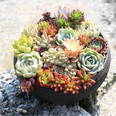 400pcs Rare Mixed Succulent Seeds Lithops Living Stones Plants Cactus Plant UK