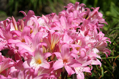 Lot Two  9x Belladonna Bulbs Pink Cut Flowers Garden Landscape Pots Naked Ladies