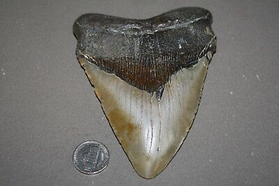 "MEGALODON Fossil Giant Sharks Teeth Ocean No Repair 4.97"" HUGE BEAUTIFUL TOOTH"
