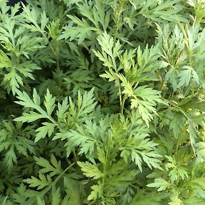 1x Mugwort/Wormwood Plant Bare Rooted Homegrown Organic *buy 2 get 1 free*