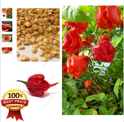 400++pcs Carolina Reaper Seeds_HP22B Hottest pepper on Earth !! VERRY HOT ***