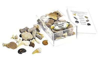 Collection Box of Small Fossils: Real Shark Teeth Trilobites Ammonites. Jurassic