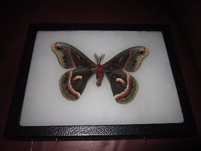 "saturniidae hyalophora cecropia moth mounted  framed 6 x 8"" display #pin05."