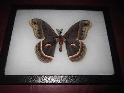 "saturniidae hyalophora cecropia moth mounted  framed 6 x 8"" display #pin011."