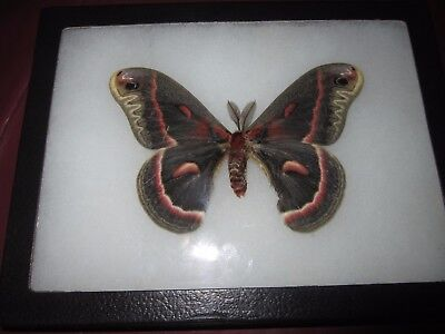 "saturniidae hyalophora cecropia moth mounted  framed 6 x 8"" display #pin07."