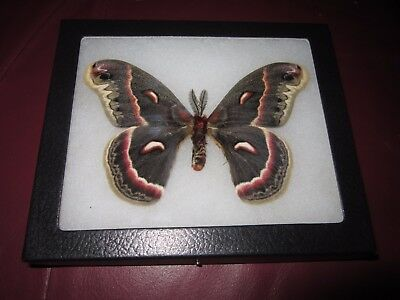 "saturniidae hyalophora cecropia moth mounted  framed 5 x 6"" display #pin02.."