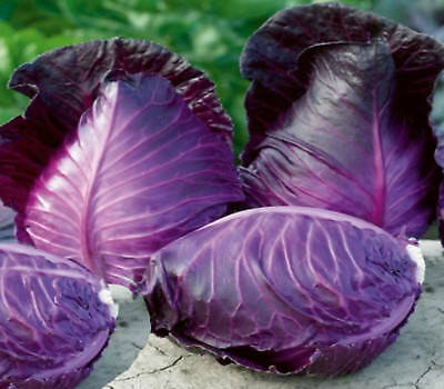 "Cabbage seeds Gourmet heirloom  ""Kalibos"" 40 seeds  cabbage UNUSUAL"