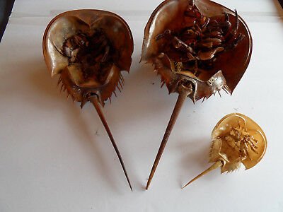 "Set of 3 horseshoe crabs, horsehoecrabs,Limulidae, Florida,shell only, 7""-16"" #2"