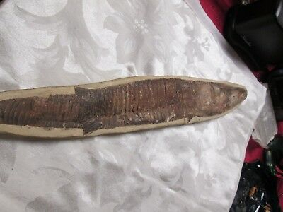 Rare Fossilized Fish Vinctifer comptoni from the Cretaceous Santana Formation of