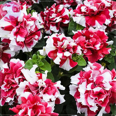 200 Petunia Mixed Double Petals Colorful Flower Seeds,