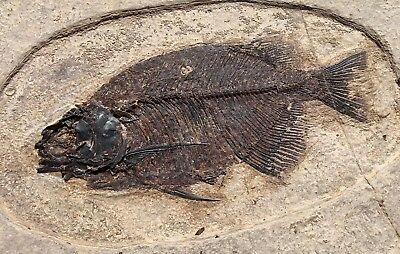 A Superb Natural fossil fish Phareodus encaustus from Wyoming