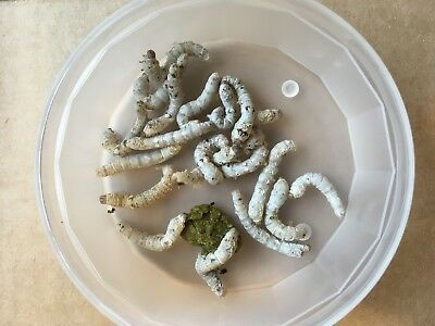 20 Silkworms Medium size (30-40m) with FREE feeding tongs reptile bird live food