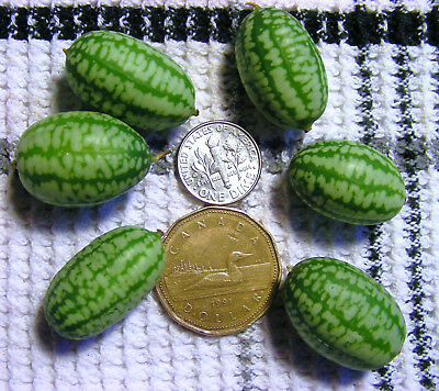 Cucamelon Seeds - Melothria Scabra - Packet of 60 Seeds Plus Free Companion Item