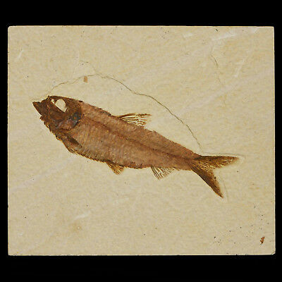 Knightia Fish Fossil from Green River Formation, Wyoming Best Quality Huge Size