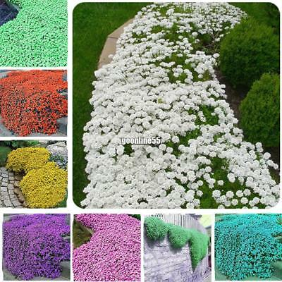100Pcs Rock Cress Flower Cascade Mix Seeds Rockery Flower  Ea9