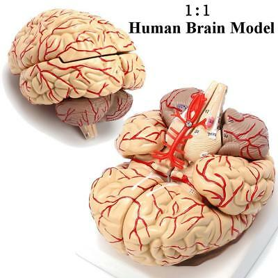 Medical Human Brain Anatomical Model Brain Brain Stem Cerebellum Cerebral Artery