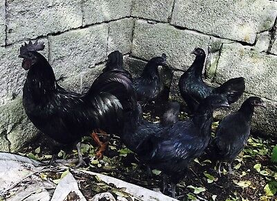Ayam Cemani Hatching Fertile Eggs X12 running with two Cockrells