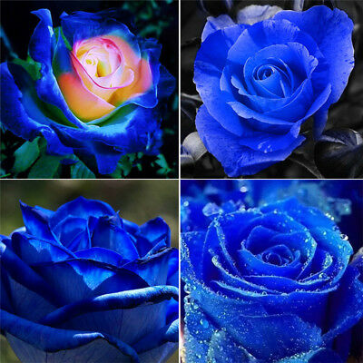 100Pcs Rare Blue Pink Roses Plant Seeds Balcony Garden Potted Rose Flowers Seed