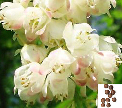 EUROPEAN BLADDERNUT tree - 10 bonsai seeds - Staphylea pinnata BEE ATTRACTI#3767