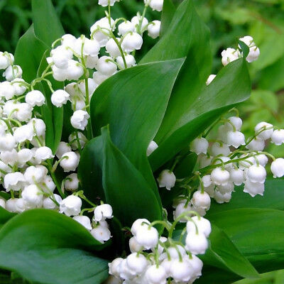 Lily of the Valley Seeds Bell Orchid Seeds Bonsai Balcony Flower Potted Plant 20