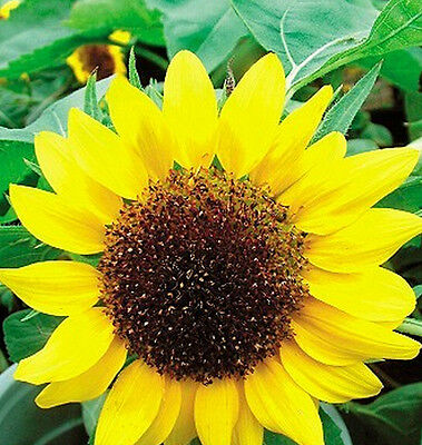 Low Sunflower Helianthus Seed Flower Seed For Good Luck ~1 Pack 20 Seeds~