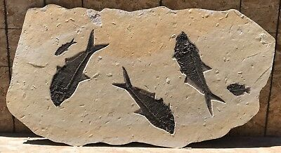 A Large Irregular Fossil Mural with 5 Fossil Fish from Wyoming