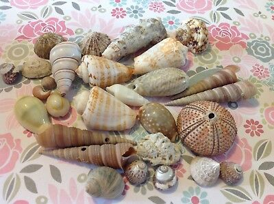 Collection of sea shells some vintage sea urchin Cowrie