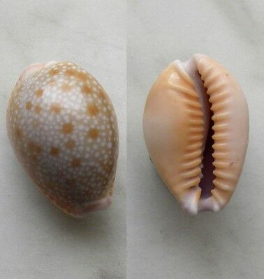 seashell  cypraea helvola hawaiensis selected