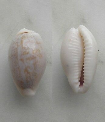 seashell  cypraea luchuana selected