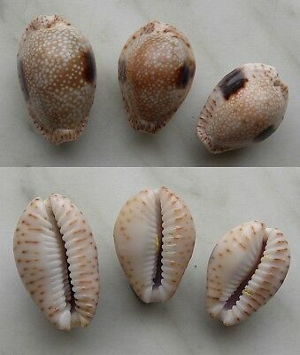 seashell  cypraea  nebrites + f.oblonga selected set 3