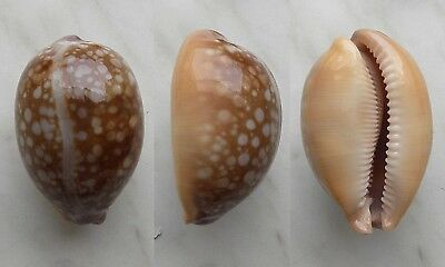 seashell  cypraea  nivosa dark color selected