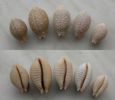 seashell  cypraea  nucleus + madagascariensis f.  selected set 5