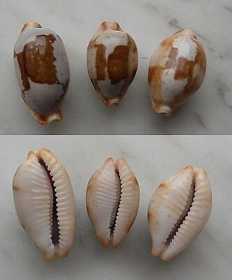 seashell  cypraea  stolida selected set 3