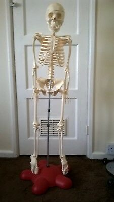 Professional Human Skeleton Model, Half Nature Size(,Medical Anatomical