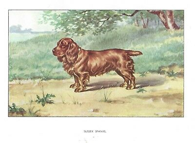 Rare 1930 Art Francois Castellan France Dog Watercolor Print SUSSEX SPANIEL