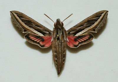 Sphingidae - Hippotion celerio - Silver-striped Hawk Moth - female #1