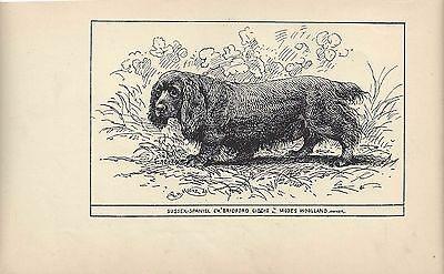 1900 UK Original Dog Art Pen Ink Print RH Moore Champion SUSSEX FIELD SPANIEL 1