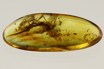 STONEFLY Plecoptera Fossil Insect Inclusion Genuine BALTIC AMBER 180516-9