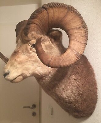 Steinschaf  Präparat aus Kanada - Stone sheep  - Jagd - Taxidermie - Taxidermy