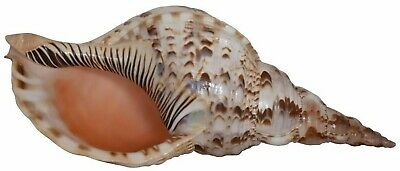 Pacific Triton Extra Large Decorative Shell 12-13, Seashell Table Top Centerp...