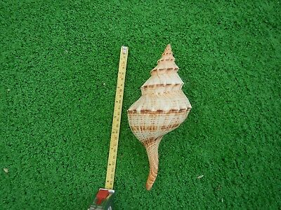 A  Large Spiral Conch Shell  Is Nine And A Half Inches Long In Excellent Conditi