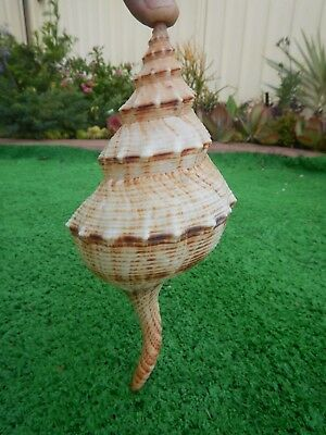 A Nine And A Half Inches Spiral Conch In Excellent Condition