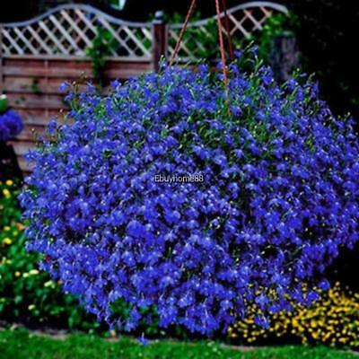 500 Great Blue Lobelia Upright Lobelia Siphilitica Flower Seeds