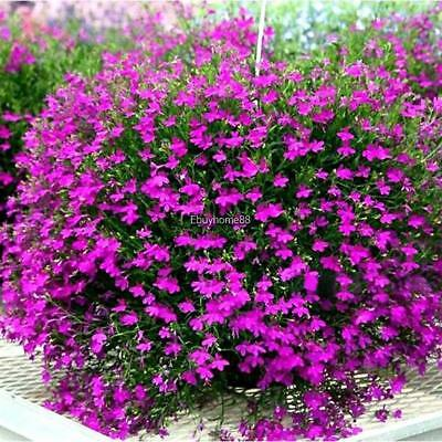 New Nice Adorable Flower Fragrant Blooms Butterfly Flower Seeds EHE8 01