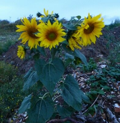 20 sunflower seeds upto 2m yellow big bee bird kids oil Helianthus sunshine blue