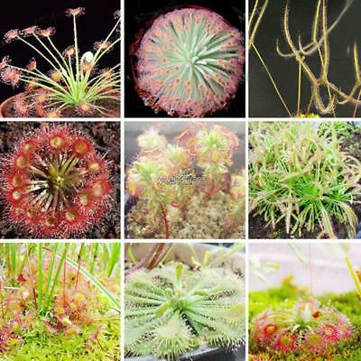 100PCS Mix Sundew Seeds Potted Flytrap Seeds Carnivorous Plants For Home WST