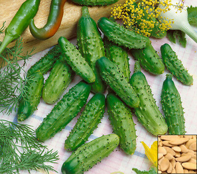 Vegetable 100 seeds from bonsai_seeds - CUCUMBER GHERKIN F1 #11169