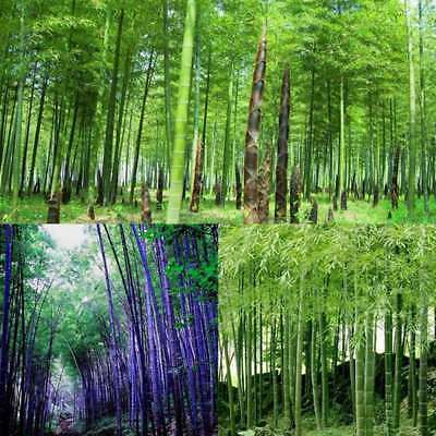 50Pcs Tinwa Phyllostachys Pubescens Moso-Bamboo Seeds Garden Supply Bamboo