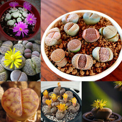 Mixed - 50 Seed Flower - Living Stone - Lithops