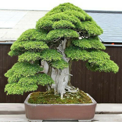 20Pcs Sacred Japanese Cedar Semillas Bonsai Plant Seeds Green!